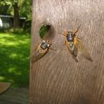Cicadas.  A rare white eyed cicada.