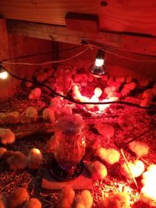 First day in the brooder.